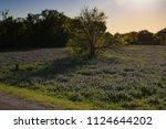 texas bluebonnet during the... | Shutterstock . vector #1124644202