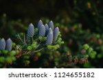 cones of coniferous trees close ... | Shutterstock . vector #1124655182