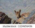 mountain goat head shy hidden... | Shutterstock . vector #1124656436