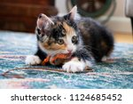 Stock photo calico kitten playing with orange and brown toy on string 1124685452