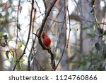red male northern cardinal... | Shutterstock . vector #1124760866