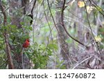 red male northern cardinal... | Shutterstock . vector #1124760872