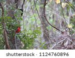 red male northern cardinal... | Shutterstock . vector #1124760896