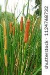 the stalks of narrowleaf... | Shutterstock . vector #1124768732