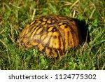 Golden Color Box Turtle Hiding...