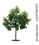 tree dicut at isolated on white ... | Shutterstock . vector #1124784452