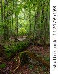 fresh deciduous stand of... | Shutterstock . vector #1124795198