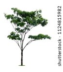 tree dicut at isolated on white ... | Shutterstock . vector #1124815982