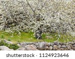 cherry blossom in jerte valley  ... | Shutterstock . vector #1124923646
