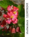 Dragon Wing Red Begonia  Latin...