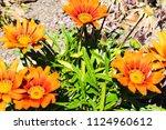 growing gerbera flowers... | Shutterstock . vector #1124960612