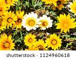growing gerbera flowers... | Shutterstock . vector #1124960618