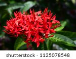 beautiful spike flower blooming ... | Shutterstock . vector #1125078548