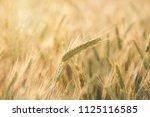 wheat growing in field   close... | Shutterstock . vector #1125116585