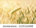 wheat growing in field   close... | Shutterstock . vector #1125116588