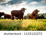 Beefmaster Cattle Standing In ...