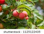 mirabelles on the tree  prunus... | Shutterstock . vector #1125122435