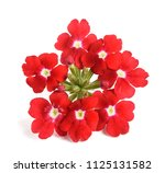 Red Verbena Flowers Isolated O...