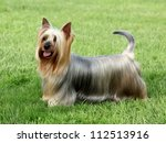 australian silky terrier on the ...