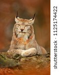 lynx in orange autumn forest.... | Shutterstock . vector #1125174422