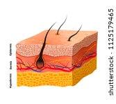 detailed human skin structure ... | Shutterstock . vector #1125179465