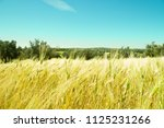field of wheat and olive trees... | Shutterstock . vector #1125231266