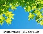 Bright Leaves Of  Maple Tree...