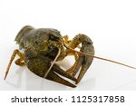 live crayfish close up ... | Shutterstock . vector #1125317858