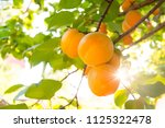 ripe sweet apricot fruits on... | Shutterstock . vector #1125322478