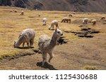 lama alpaca in andes mountains  ... | Shutterstock . vector #1125430688