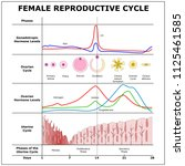 female reproductive cycle color ... | Shutterstock .eps vector #1125461585