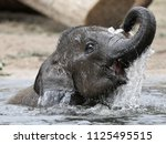 Young Indian Elephant In The...