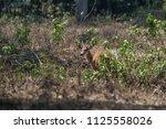 marsh deer  blastocerus...   Shutterstock . vector #1125558026