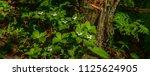 bunchberry flowers beside a... | Shutterstock . vector #1125624905