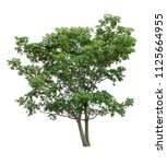 isolated tree on white... | Shutterstock . vector #1125664955