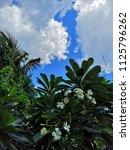plumeria flowers  in  the ... | Shutterstock . vector #1125796262