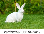 Stock photo calm and sweet little white rabbit sitting on green grass cute bunny 1125809042