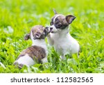 Stock photo two small chihuahua puppies playing in the grass 112582565