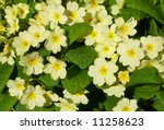 Cornish Wild Yellow Primroses.
