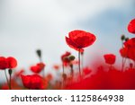 red poppy flowers against the...