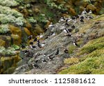 the flock of puffins relaxes on ... | Shutterstock . vector #1125881612