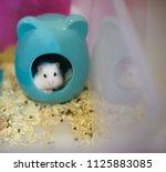 Cute Winter White Dwarf Hamster ...