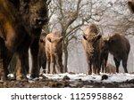 european bison  wisent ... | Shutterstock . vector #1125958862