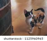 Stock photo adorable just too cute tiny calico kitten looking up with curiosity next to a large oak wine 1125960965