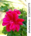 beautiful geraniums in south...   Shutterstock . vector #1126033775