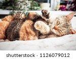 Stock photo grey mother cat nursing her babies kittens close up 1126079012