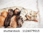 Stock photo grey mother cat nursing her babies kittens close up 1126079015