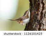 eurasian or common treecreeper  ... | Shutterstock . vector #1126101425