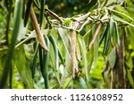 ripe vanilla fruits hanging on...   Shutterstock . vector #1126108952