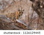 tigress krishna cub observing... | Shutterstock . vector #1126129445